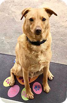 Labrador Retriever/Golden Retriever Mix Dog for adoption in Irvine, California - Bucky