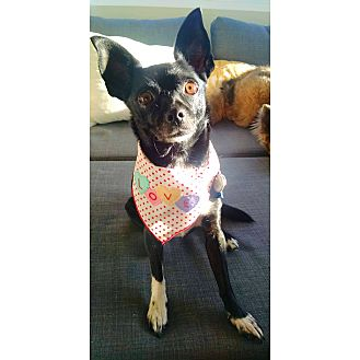 Chihuahua Mix Dog for adoption in San Diego, California - Jackie