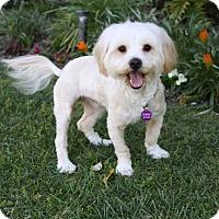 Adopt A Pet :: ABBOT - Newport Beach, CA