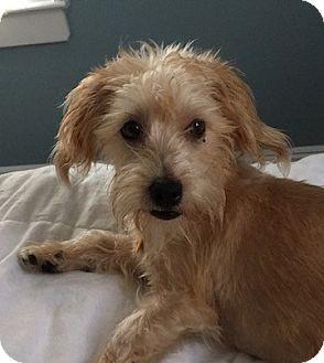Yorkie, Yorkshire Terrier/Dachshund Mix Dog for adoption in Long Beach, New York - Charlotte