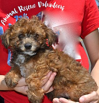 Cairn Terrier/Poodle (Miniature) Mix Puppy for adoption in Simi Valley, California - Razzle