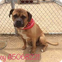 Adopt A Pet :: Spicy A5068221 @ Palmdale Shel - Beverly Hills, CA