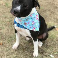 Adopt A Pet :: Mya Kzoo - Kalamazoo, MI