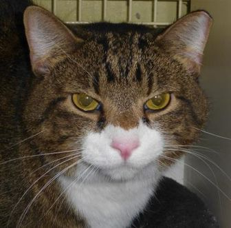 Domestic Shorthair/Domestic Shorthair Mix Cat for adoption in Heber City, Utah - Buddy