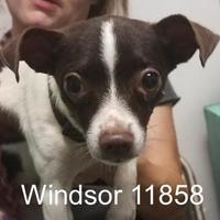 Chihuahua Mix Dog for adoption in Manassas, Virginia - Windsor