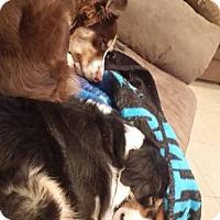 Australian Shepherd/Australian Shepherd Mix Dog for adoption in Ridgecrest, California - Kora/Kayto