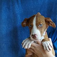 Adopt A Pet :: Star - Oviedo, FL