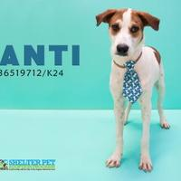 Adopt A Pet :: K-85 9-14-17 - San Angelo, TX