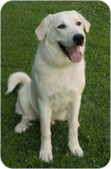 Great Pyrenees Mix Dog for adoption in Westfield, New York - Avalanche