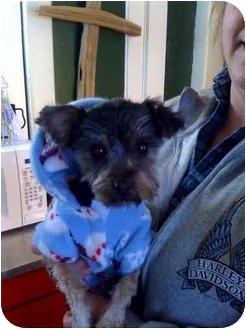 Yorkie, Yorkshire Terrier Mix Dog for adoption in Foster, Rhode Island - Fozzie Bear