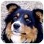 Photo 3 - Australian Shepherd Mix Dog for adoption in Roundup, Montana - Levi