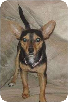 Chihuahua/Miniature Pinscher Mix Dog for adoption in Hagerstown, Maryland - Gina