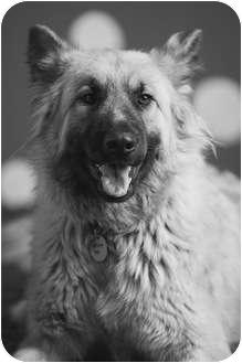 Belgian Tervuren Dog for adoption in Portland, Oregon - Goldie