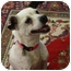 Photo 2 - Jack Russell Terrier/Rat Terrier Mix Dog for adoption in Hamburg, Pennsylvania - Misty