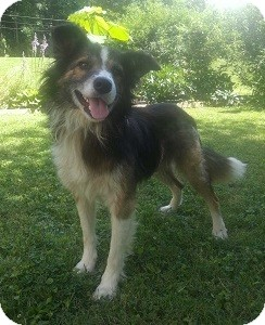 Border Collie Dog for adoption in Oliver Springs, Tennessee - Frank