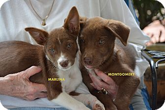 Cattle Dog Mix Puppy for adoption in Groton, Massachusetts - Marlina