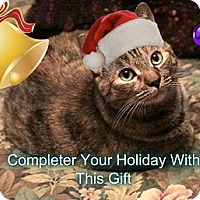 Adopt A Pet :: Bell Bell -Declawed Snugglepus - Rochester, NY