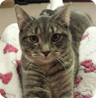 Domestic Shorthair Cat for adoption in Cherry Hill, New Jersey - Ashley