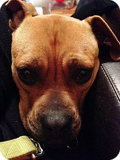 Boxer Mix Dog for adoption in Richmond, Virginia - Zelda