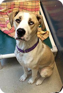 Great Dane/Catahoula Leopard Dog Mix Dog for adoption in Bellingham, Washington - Archie