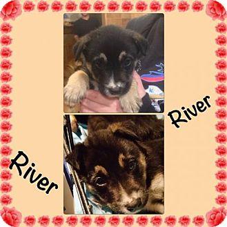Australian Shepherd/Husky Mix Puppy for adoption in Von Ormy, Texas - River