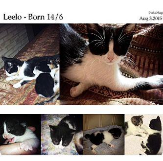 Domestic Shorthair Kitten for adoption in Woodstock, Ontario - Leelo