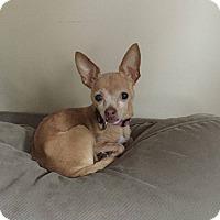 Adopt A Pet :: Remi - Chicago, IL