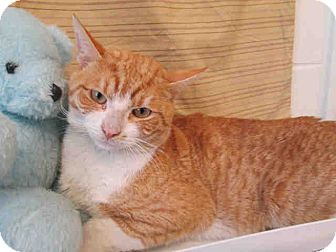 Domestic Shorthair Cat for adoption in Waldorf, Maryland - Lenny