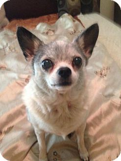 Chihuahua Dog for adoption in Tampa, Florida - Bessie