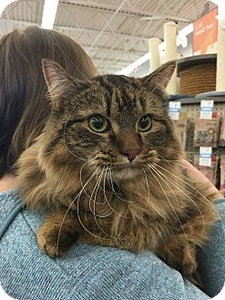 Domestic Longhair Cat for adoption in Sterling Hgts, Michigan - Bruce I need kisses