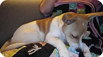 Jack Russell Terrier Mix Puppy for adoption in Forest Hill, Maryland - Rex