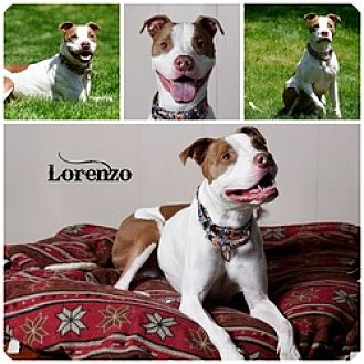 Pit Bull Terrier Dog for adoption in Sioux Falls, South Dakota - Lorenzo