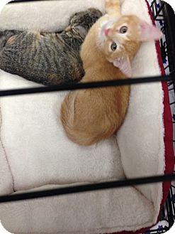 Manx Kitten for adoption in Simpsonville, South Carolina - Sherman