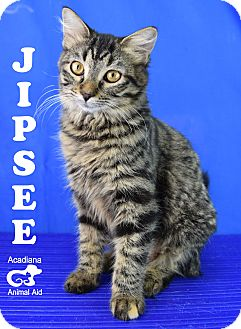 Domestic Mediumhair Kitten for adoption in Carencro, Louisiana - Jipsee