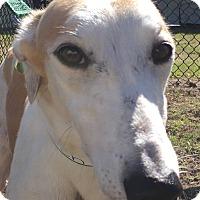 Adopt A Pet :: L Human Torch - Longwood, FL