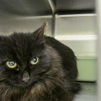 Domestic Longhair Cat for adoption in Grand Junction, Colorado - Smoke