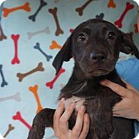 Adopt A Pet :: Annabell - Oviedo, FL