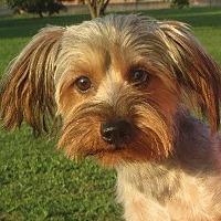 Adopt A Pet :: Sam - Westport, CT