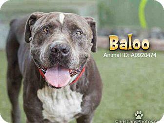 American Pit Bull Terrier Dog for adoption in Van Nuys, California - BALOO