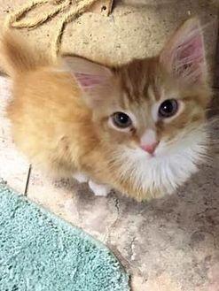Domestic Mediumhair/Domestic Shorthair Mix Cat for adoption in Columbus, North Carolina - Faliene