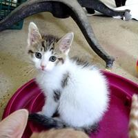 Adopt A Pet :: Cody - Belleville, MI