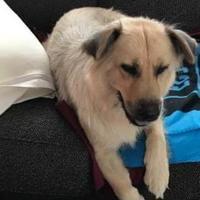 Adopt A Pet :: Shelby - Irmo, SC