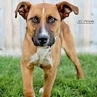 Adopt A Pet :: Tracer - Salt Lake City, UT