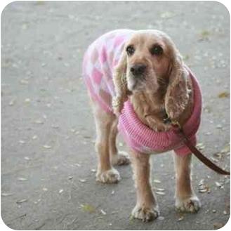 Cocker Spaniel Mix Dog for adoption in Denver, Colorado - Shu Shu