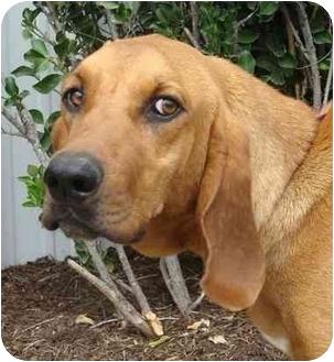 Coonhound Mix Dog for adoption in Brenham, Texas - Elvis