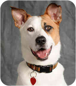 Australian Cattle Dog Mix Dog for adoption in Chicago, Illinois - Katie