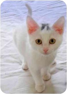 Domestic Shorthair Kitten for adoption in Colmar, Pennsylvania - Marcia Brady