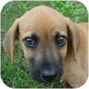 Hound (Unknown Type) Mix Puppy for adoption in Milledgeville, Georgia - Bri-bri