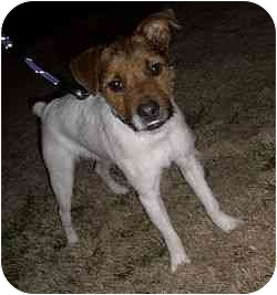 Jack Russell Terrier Dog for adoption in Austin, Texas - Bronco in DFW