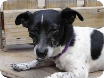 Rat Terrier Dog for adoption in Savannah, Georgia - Bodie